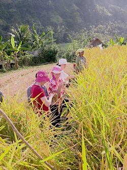 Group helping harvest Balinese rice